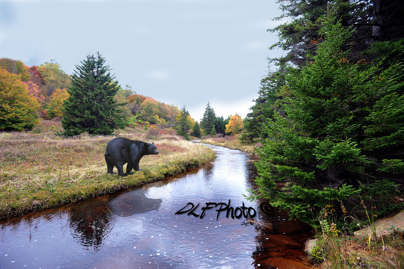 Balck bear Dolly Sods West Virginia                               .                                  Prints or digital files can be purchased by e mailing DFriend150@gmail.com