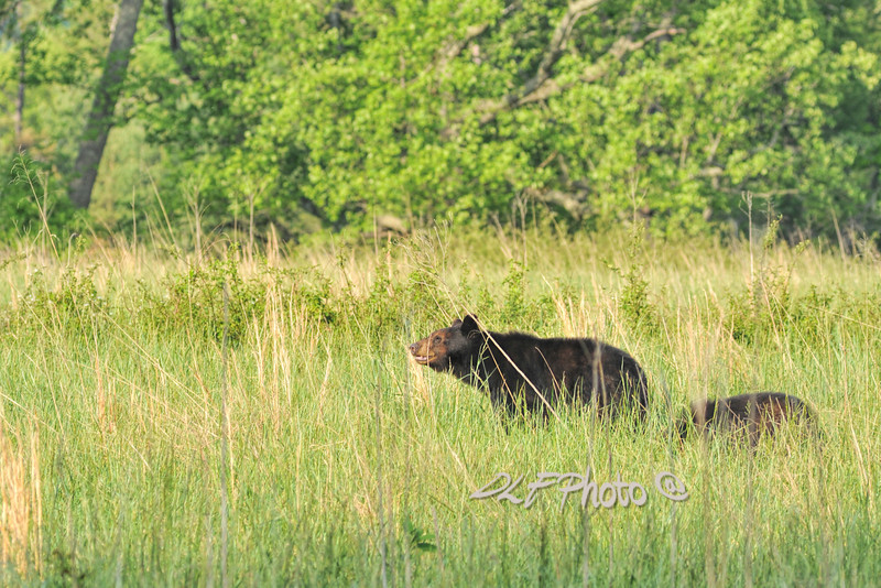 Black bear and cubs in field.                                .                                  Prints or digital files can be purchased by e mailing DFriend150@gmail.com