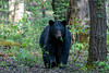Large black bear in forest with leaves sticking out her mouth