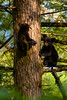 Two black bear cubs up a tree playing