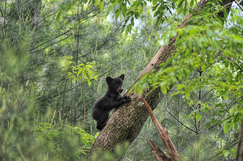 """Bear cub climbing tree looking<br /> <br /> to purchase - <a href=""""http://dan-friend.artistwebsites.com/featured/bear-cub-climbing-tree-looking-out-dan-friend.html"""">http://dan-friend.artistwebsites.com/featured/bear-cub-climbing-tree-looking-out-dan-friend.html</a>           .................................................................pixel paintography"""