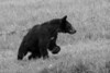 Black bear looking an alert to danger    BW