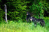 Mom black bear in grass year old cub standing .......................................Prints or digital files can be purchased by e mailing DFriend150@gmail.com