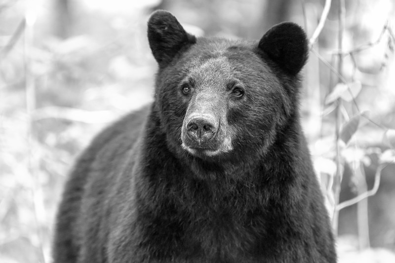 Black bear staring ahead    BW