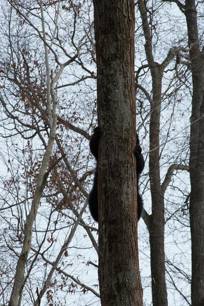 Black bear hidden behind tree