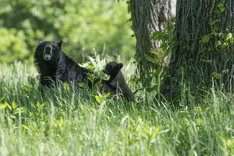 Black bear mom with her cub.....................Prints or digital files can be purchased by e mailing DFriend150@gmail.com