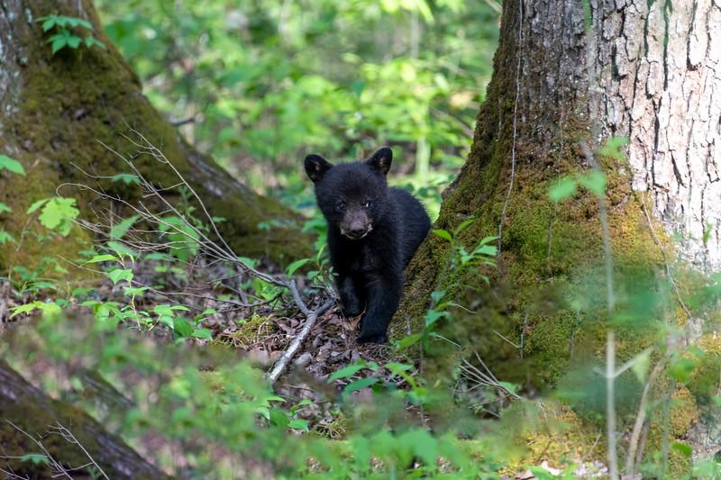 Black bear cub walking along forest floor
