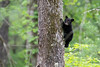 Balck bear cub climbing tree .......................................Prints or digital files can be purchased by e mailing DFriend150@gmail.com