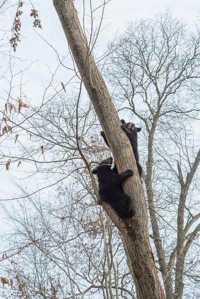 Two black bears way up a tree