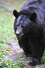 Black bear WV Wildlife at French Creek   ................................................                       .                                  Prints or digital files can be purchased by e mailing DFriend150@gmail.com