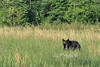 Black bear in grass                            .                                  Prints or digital files can be purchased by e mailing DFriend150@gmail.com