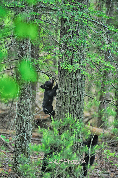 black bear cub climbing tree                                .                                  Prints or digital files can be purchased by e mailing DFriend150@gmail.com