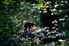 Black bear cub heading back into the deep forest