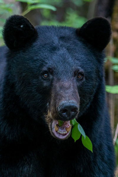 Close up of Large black bear eating leaves