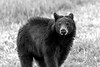 Black bear in field fur sticking up   paintography