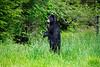 """Balck bear standing in grass .......................................to purchase - <a href=""""http://dan-friend.artistwebsites.com/featured/black-bear-standing-upright-looking-dan-friend.html"""">http://dan-friend.artistwebsites.com/featured/black-bear-standing-upright-looking-dan-friend.html</a>"""
