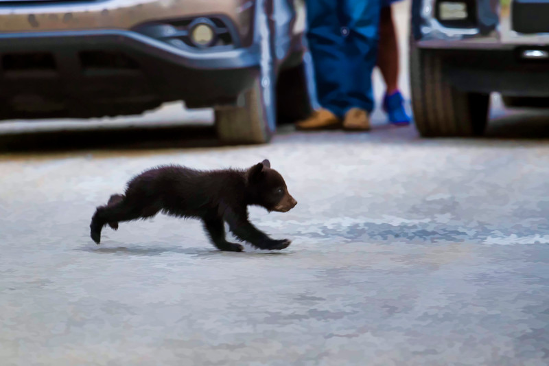 Black bear cub crossing road to get to the other side    paintography