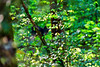 Black bear cubs climbing in the trees playing .......paintography