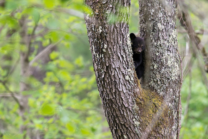 "Black bear cub in fork of tree.........................to purchase - <a href=""http://dan-friend.artistwebsites.com/featured/black-bear-cub-in-fork-of-tree-dan-friend.html"">http://dan-friend.artistwebsites.com/featured/black-bear-cub-in-fork-of-tree-dan-friend.html</a>"