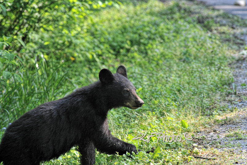 Black bear crossing road.                                .                                  Prints or digital files can be purchased by e mailing DFriend150@gmail.com