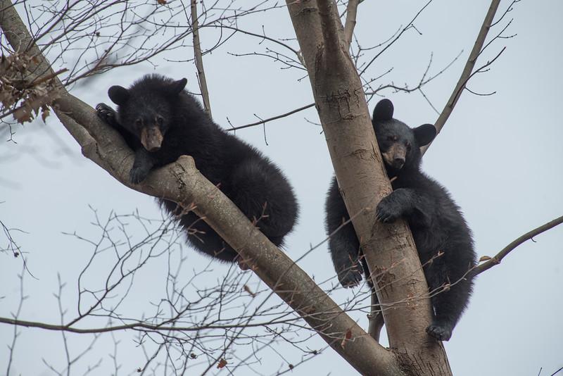 Two black bear taking it easy in a tree