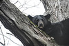 black bear in tree resting                              .                                  Prints or digital files can be purchased by e mailing DFriend150@gmail.com
