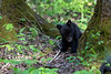 Black bear cub eating leaves off a small plant looking cute
