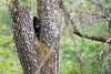 Black bear cub in fork of tree .......................................Prints or digital files can be purchased by e mailing DFriend150@gmail.com