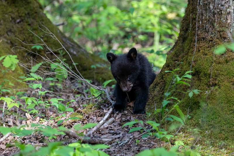 Black bear cub eating leaves off a small plant