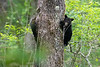 Black bear cub climbing tree in woods .......................................Prints or digital files can be purchased by e mailing DFriend150@gmail.com