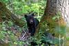 Black bear cub looking around tree