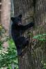 Black bear cub up a tree looking back