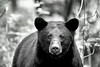 Black bear staring straight ahead    BW paintography