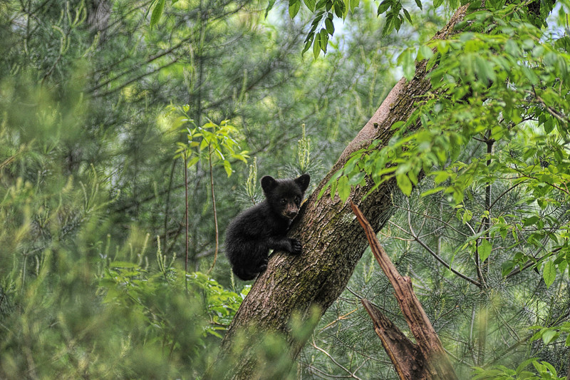 """Bear cub climbing tree looking out<br /> <br /> to purchase - <a href=""""http://dan-friend.artistwebsites.com/featured/1-bear-cub-climbing-tree-looking-out-dan-friend.html"""">http://dan-friend.artistwebsites.com/featured/1-bear-cub-climbing-tree-looking-out-dan-friend.html</a>           .................................................................pixel paintography"""