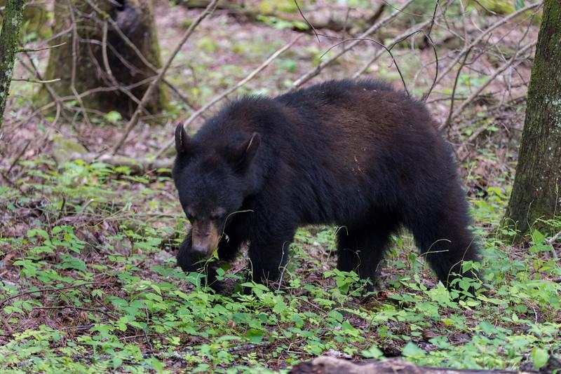Black bear n the wild