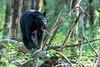 Black bear walking along log on the forest floor