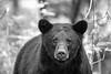 Black bear staring straight ahead    BW