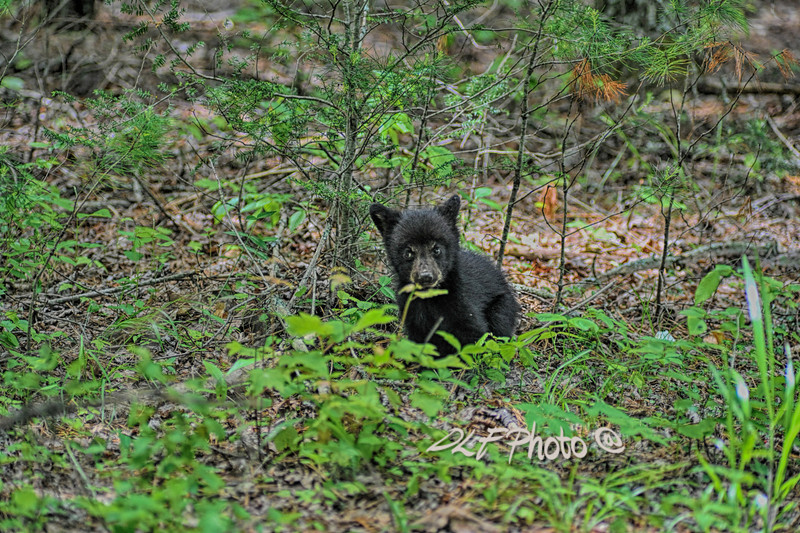 Black bear cub on ground .                                .                                  Prints or digital files can be purchased by e mailing DFriend150@gmail.com