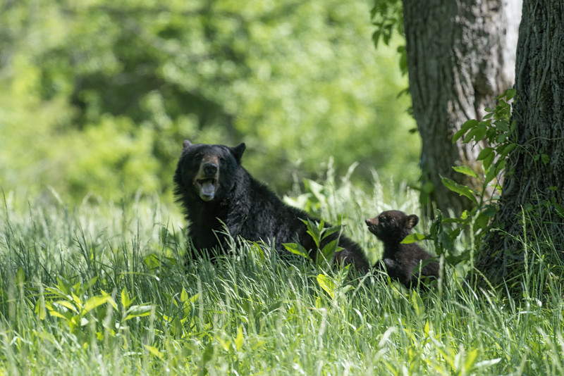 Mother black bear with cub.......................Prints or digital files can be purchased by e mailing DFriend150@gmail.com