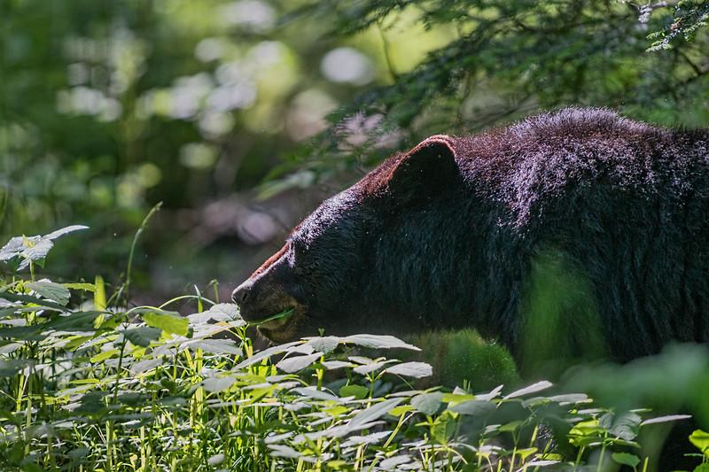 black bear eating leaves in field