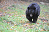 Black bear WV Wildlife at French Creek   ''''''''''''''''''''''''''''''''''''''''''''                        .                                  Prints or digital files can be purchased by e mailing DFriend150@gmail.com