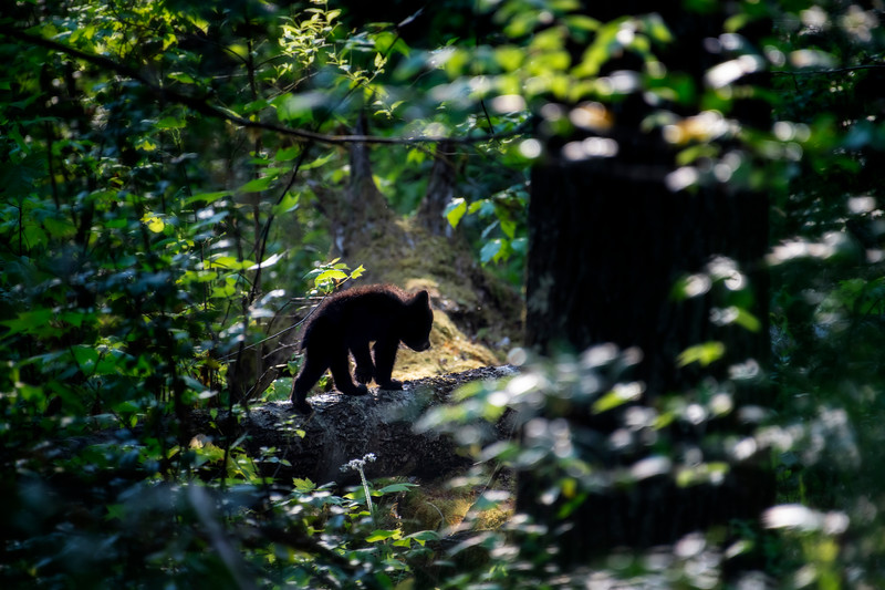 Black bear cub heading back into the forest