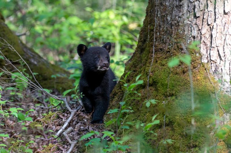 Black bear cub looking up into the tress
