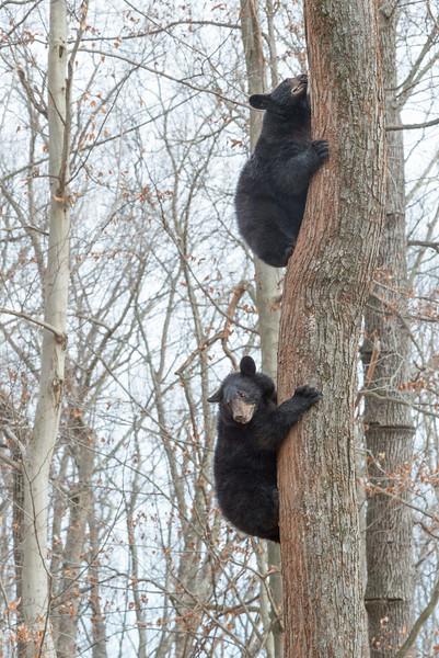 Bears climbing a tree