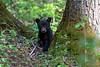 Black bear cub amoung the large trees