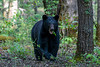 Large black bear eating leaves