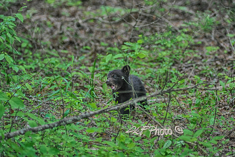 Black bear cub playing with twig .                                .                                  Prints or digital files can be purchased by e mailing DFriend150@gmail.com