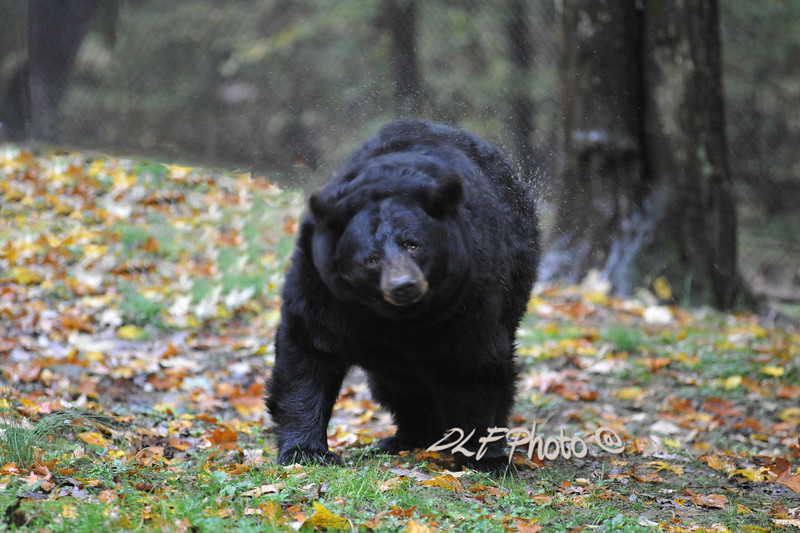 Black bear shaking water off                              .                                  Prints or digital files can be purchased by e mailing DFriend150@gmail.com