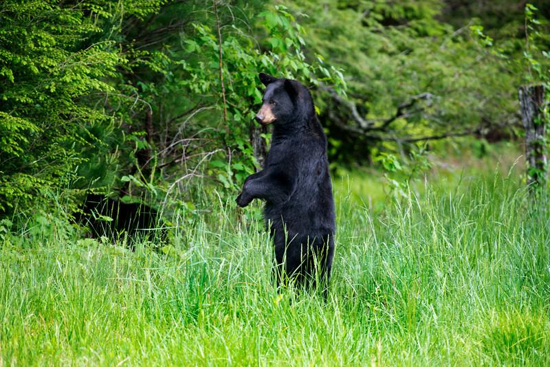 "Black bear standing upright looking...........................to purchase - <a href=""http://dan-friend.artistwebsites.com/featured/black-bear-standing-upright-looking-dan-friend.html?newartwork=true"">http://dan-friend.artistwebsites.com/featured/black-bear-standing-upright-looking-dan-friend.html?newartwork=true</a>"