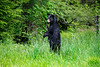 "Black bear standing upright looking...........................to purchase - <a href=""http://dan-friend.artistwebsites.com/featured/black-bear-standing-upright-looking-dan-friend.html?newartwork=true"">http://dan-friend.artistwebsites.com/featured/black-bear-standing-upright-looking-dan-friend.html?newartwork=true</a>"